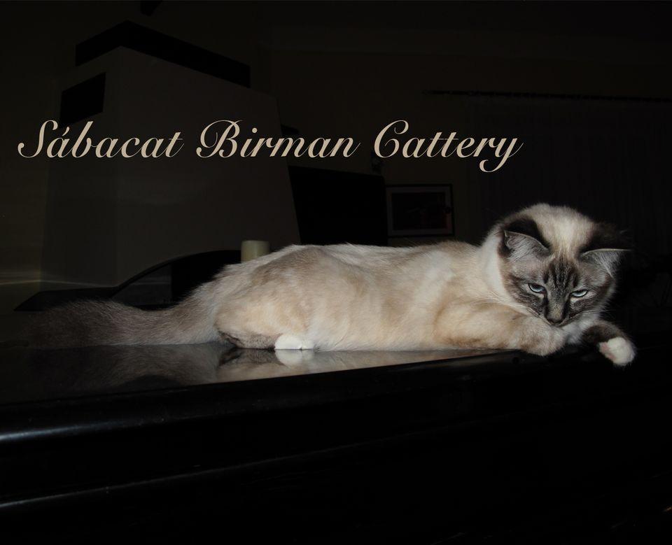 Our first Birman cat
