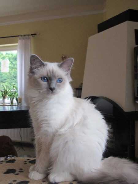 8 months old Birman Cat