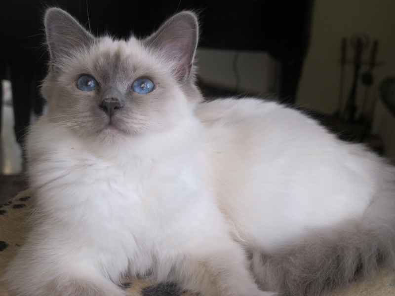 Blue Point SBI a Birman Cat