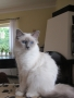 8 months old Birman Cat