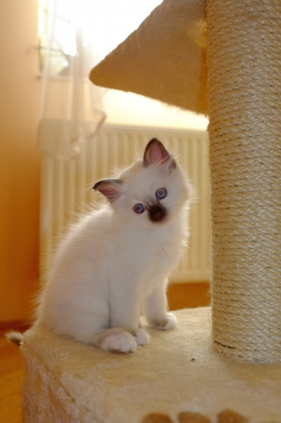 Birman kitten Chocolate Point SBI b