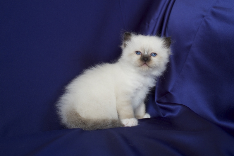 Birman Seal Point kitten