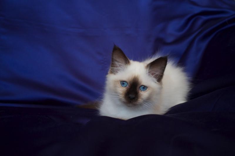 Sábacat Diana ,Best of breed