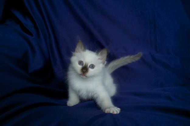Birman kitten, Lilac Point SBI c
