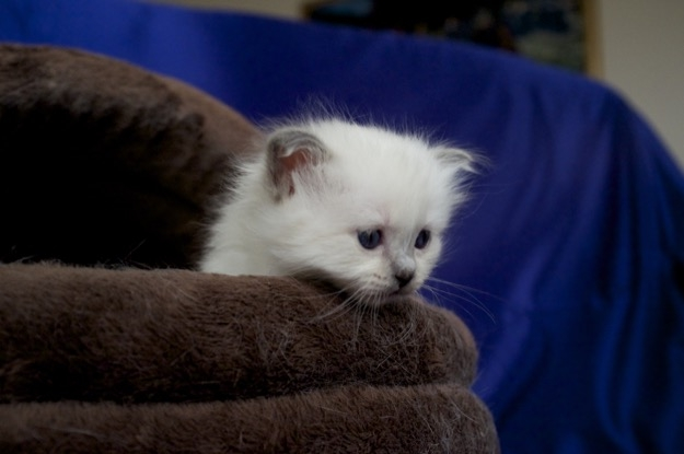Blue Point  Birman kitten
