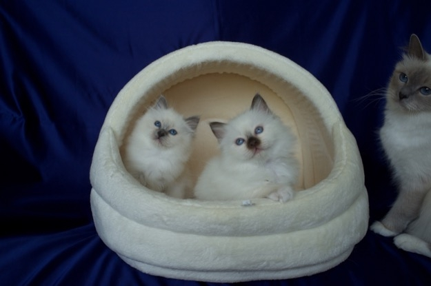 Blue Point and Chocolate Point kittens
