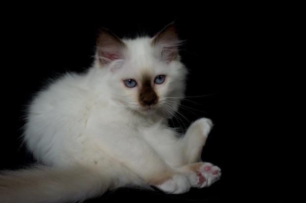 Chocolate Point kitten
