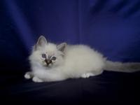 Sábacat kittens / kölykök