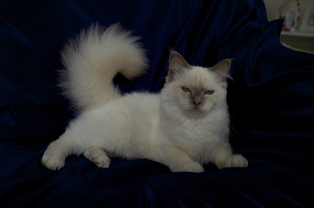 Lilac Point Birman cat