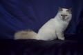 Birman cat Lilac Point SBI c
