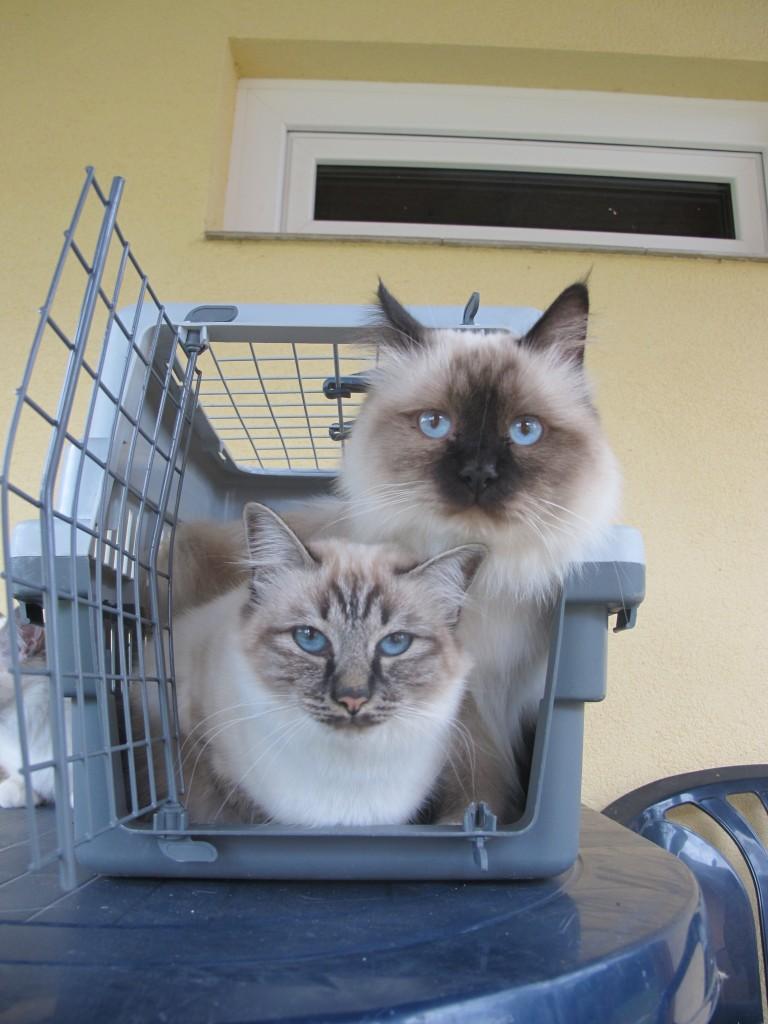 Fóka cirmos és fóka point Birman cicák